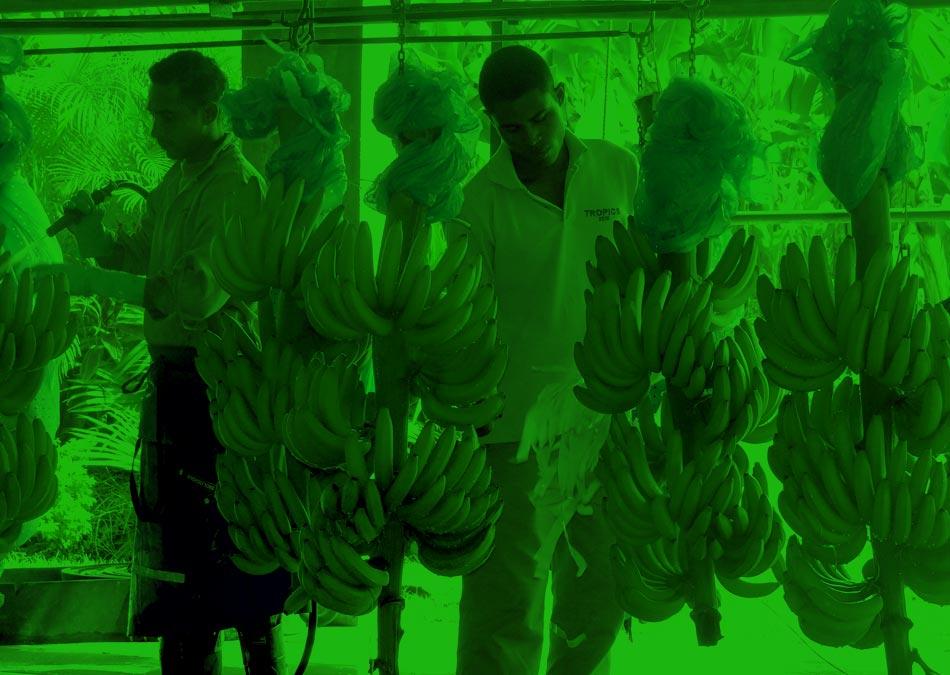 Servicios Técnicos en Cultivos de Banano en Colombia | Servicios Administrativos Bananeros SAB S.A.S