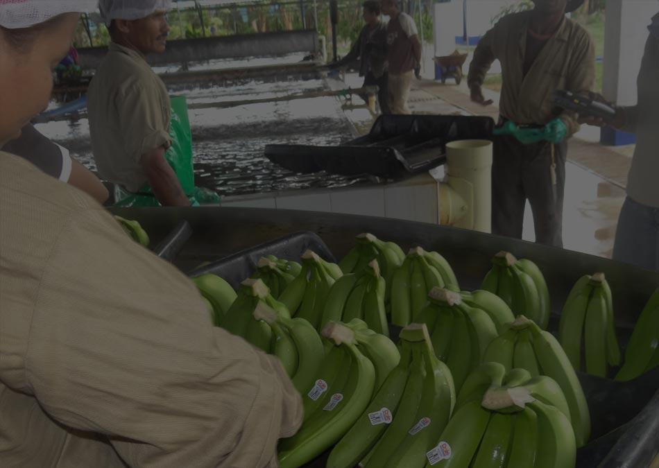 Administración de Personal en Fincas de Cultivos de Banano en Colombia | Servicios Administrativos Bananeros SAB S.A.S